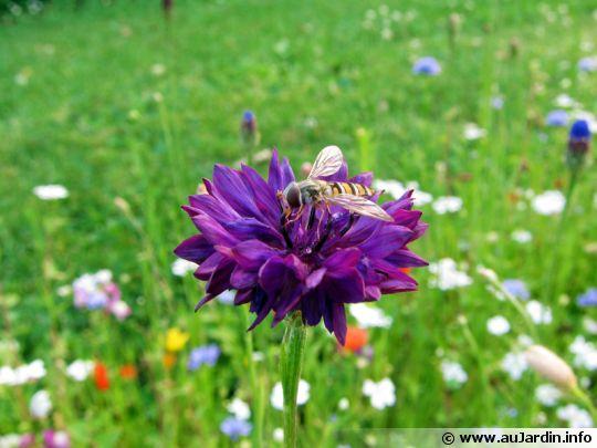 Insecte pollinisateur 540x405